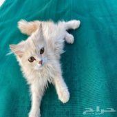 قط شيرازي صغير مطعم وخالي من الأمراض