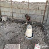 دجاجة باكستانيه