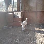ديكين مهجن بلدي مع براهما ودجاجه براهما