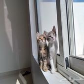 عائلة قطط للبيع