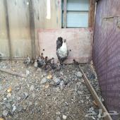 للبيع دجاجه فيومي معها 13 صوص