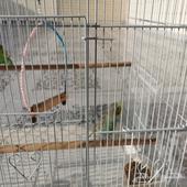جوز طيور الحب للبيع