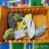 مجموعة طيور الحب - أليفة جدا