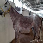 حلاقة خيول