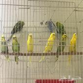 طيور حب البيع على السوم