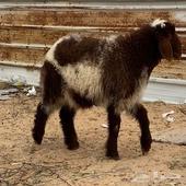 للبيع ذبايح نعيم خروفين شحم