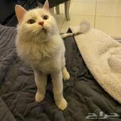 قطة منزليه حصلتها في الرياض