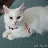 قطط للبيع فيس مون