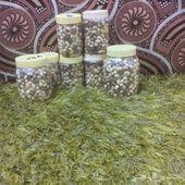 بذر ألبان العربي المورنجا يسر