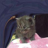 قطط للبيع شيرازي و هملايا انتاج فخم