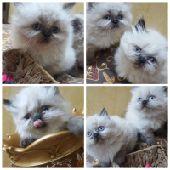للبيع قطط هيملايا شوكلت بيور
