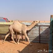 باتلي ولد هداج بعير خالد الثقفي