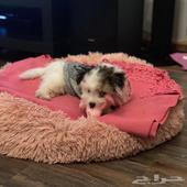 كلب صغير انثى 3 شهور شيتزو للبيع بكامل اغراضه