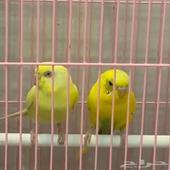 عصافير جميله للبيع
