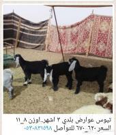 تيوس..هرافي نعيم..حري ..شمال الرياض