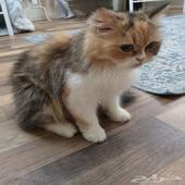 قطه من ام شيرازي واب بيرشن