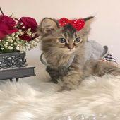 قطة شيرازية تايقر