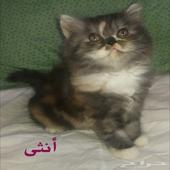 لتميز قطط صغيرة كيوت للبيع