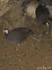للبيع دجاج حبشي ودجاج براهما اصل منتج