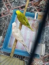 طيور للبيع  بادجي للبيع مستعجل جدا سعر معقول