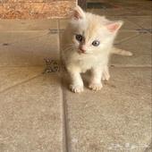 قطط صغيره شيرازي للبيع