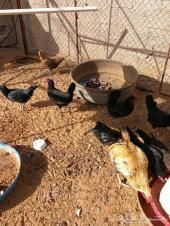 دجاج بياض وديك