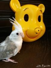 فروخ روز وكروان أليفة للهدد وسيرلاك للطيور