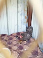 للبيع دجاجه معه 12 فرخ طريف