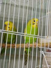 للبيع باطريف جوز طيور الحب منتج