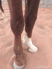 حصان واهو بطل