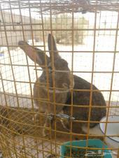 أرنب ذكر شانشيلا للبيع