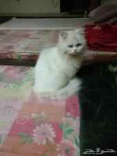 قطة للتبني بريدة