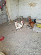 دجاج براهما كولمبي  للبيع  القنفذه