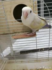 طيور روز عدد 2