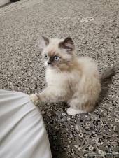 قطه هملايا شيرازي للبيع
