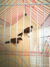 طيور للبيع على السوم