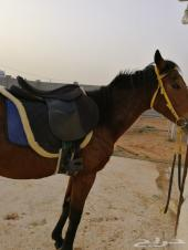 حصان شعبي مشروك ب3000