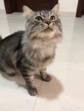 قط شيرازي هجين عمره سنه ونص تقريبا