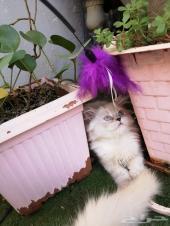 قط هملايا صغير ومطعم