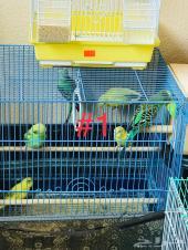 طيور بادجي للبيع جمله