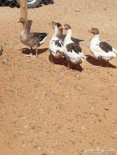 للبيع دجاج ووز طريف بياض