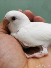 فرصة طيور جميلة روز كروان كنيورللولافة والهدد