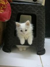 قط ولد شيراز ابيض للبيع