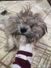 كلب الليف جدن للغاية فرنسي عمره 8شهور