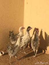 للبيع طقم دجاج