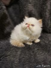 قطه بيكي فيس صغيره للبيع