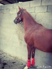 حصان بطل للبيع او البدل