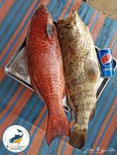 سمك طازة ... صيد البحر الأحمر لا يعلى عليه