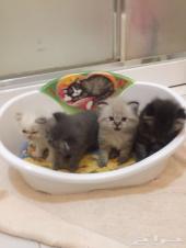 قطط كيتن عمر 40 يوم لبيع داخل جدة