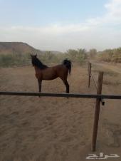 حصان شعبي للبيع شيخ
